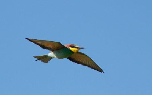 soñar con Pájaro volando