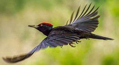 soñar con pájaros carpinteros
