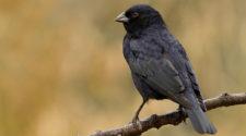 Soñar con aves negras