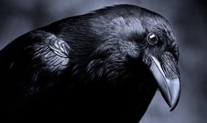 que significa soñar con varias o una ave negra