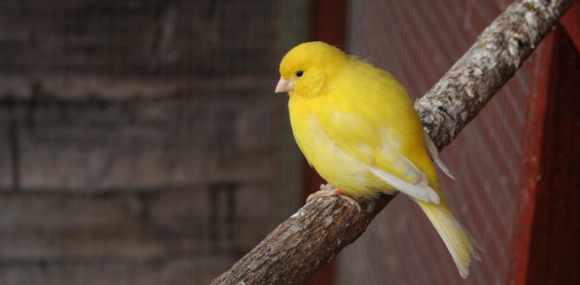 Sueños con pájaros de color amarillo
