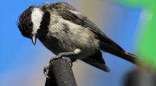 Soñar con pájaro negro