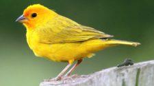 Soñar con pájaros amarillos