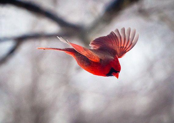 Soñar con pájaros rojos