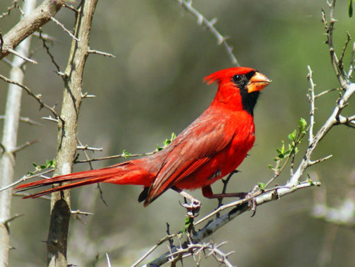 Soñar con Pájaro Rojo