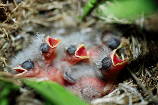 soñar con pájaros bebés