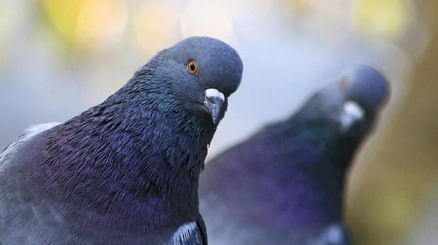 soñar con una paloma